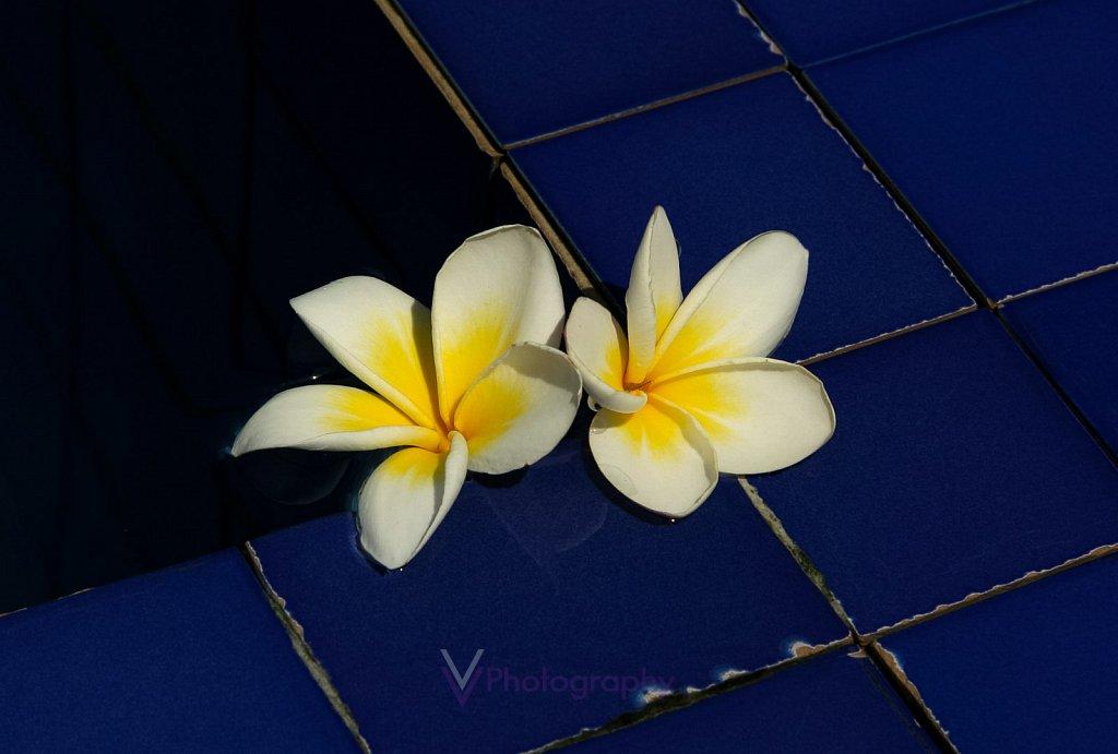 Frangipani Blumen - Bali