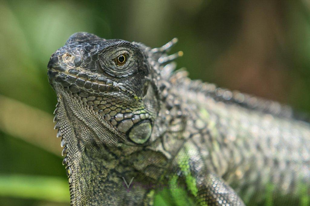 Leguan - Bali Reptile Park in Bali