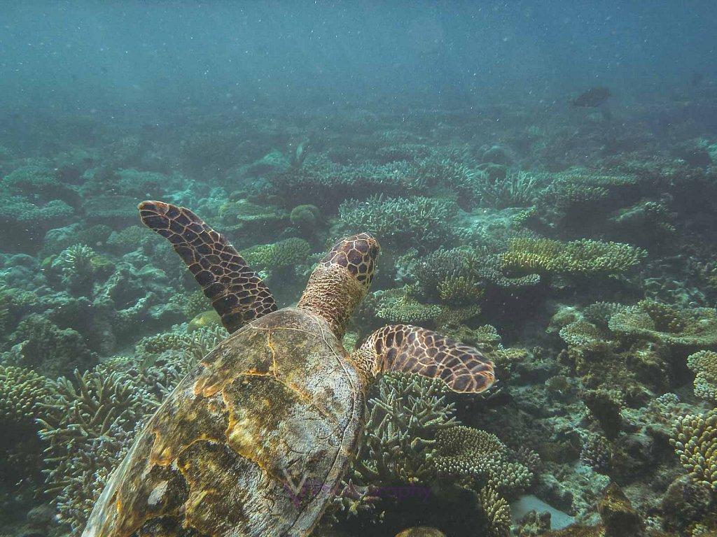Meeresschildkröte - Athuruga - Malediven